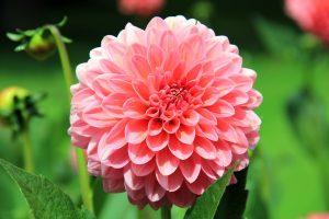 Hochzeitsblumen: Dahlie