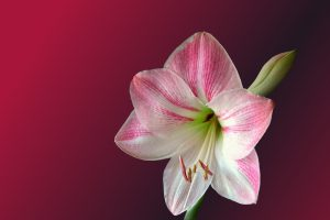 Hochzeitsblumen: Amaryllis