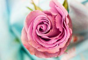 Hochzeitsblumen: Rose