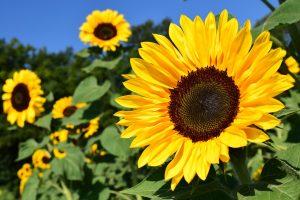 Hochzeitsblumen: Sonnenblumen
